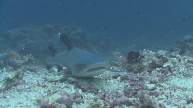 ms shot of whitetip reef shark and diver / sipadan, sabah, malaysia  - whitetip reef shark stock videos & royalty-free footage