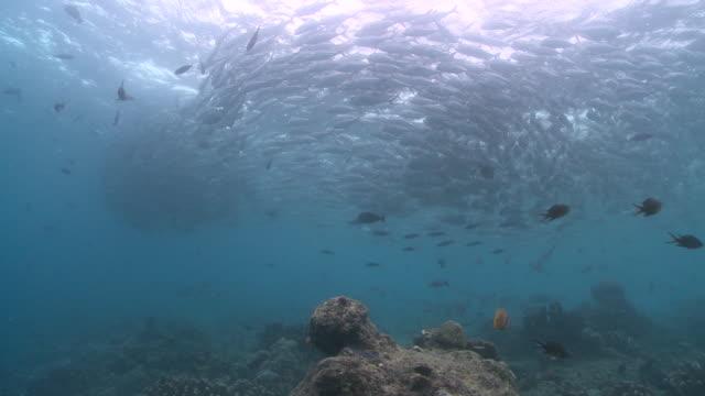 ms shot of whitetip reef shark / sipadan, sabah, malaysia  - whitetip reef shark stock videos & royalty-free footage