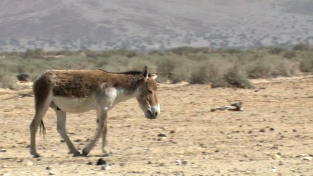 ms ts shot of wild ass (equus hemionus) walking in open dry area / yotvata, arava, negev desert, israel  - esel stock-videos und b-roll-filmmaterial