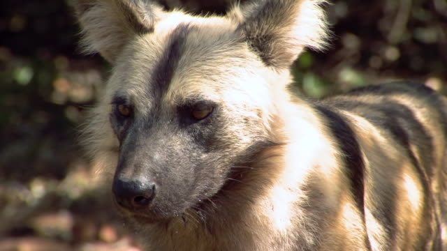 CU TS SLO MO Shot of Wild dog, Pilanesberg Game Reserve / North West Province, South Africa