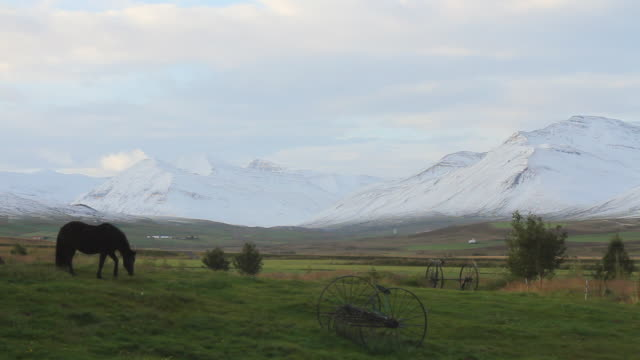 ws shot of wild horse grazing in grass with large snow covered mountain range / skagafjorour, nordhurland vestra, iceland  - wiese video stock e b–roll
