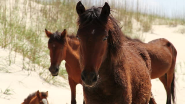 stockvideo's en b-roll-footage met ms shot of wild horse looking in front with other wild horses / rodanthe, north carolina, united states - north carolina amerikaanse staat