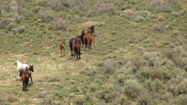 ms aerial shot of wild horses in colorado plateau en route from desolation canyon to buffalo / utah, united states - colorado plateau stock videos & royalty-free footage