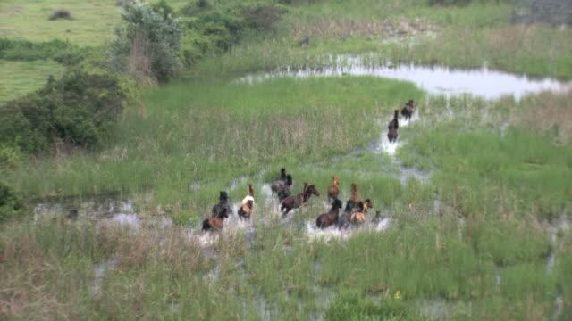 MS AERIAL ZI Shot of wild horses running across / Axios River, Macedonia, Greece