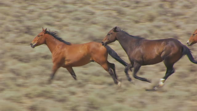 cu aerial ts zo shot of wild horses running in wind river indian reservation / wyoming, united states - pferd stock-videos und b-roll-filmmaterial