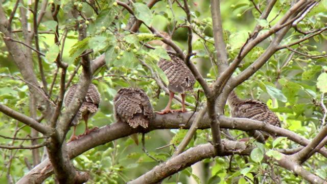 MS Shot of Wild turkey chicks seating on tree branch / Tweed, Ontario, Canada