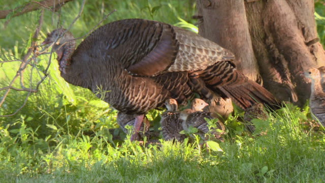 MS PAN Shot of Wild turkey mother and chicks walking in green field / Tweed, Ontario, Canada