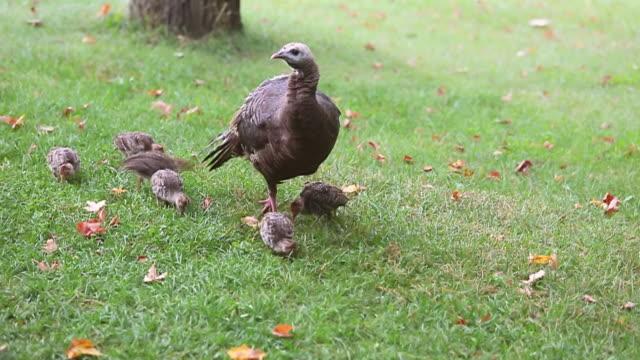 MS Shot of Wild turkeys chicks in green field / Tweed, Ontario, Canada
