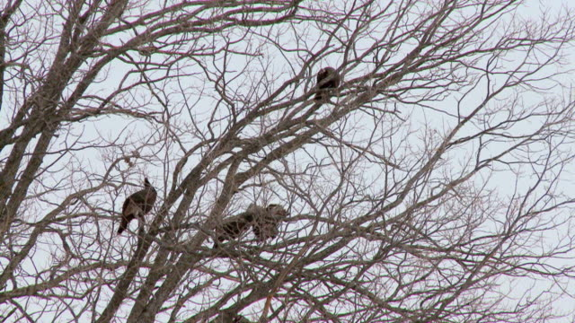 WS ZI Shot of Wild turkeys roosting in tree / Tweed, Ontario, Canada