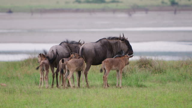 WS SLO MO Shot of  Wildebeest with young, only a few days old / Pilanesberg, Gauteng, South Africa