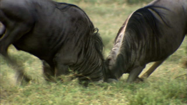 shot of wildebeests fighting each other - aggression stock-videos und b-roll-filmmaterial