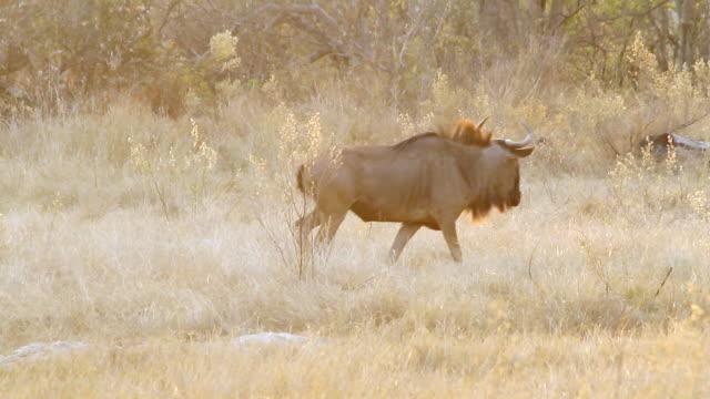 ms shot of wildesbeest walking in field as another one follows / ghanzi district, ghanzi district, botswana - wiese video stock e b–roll