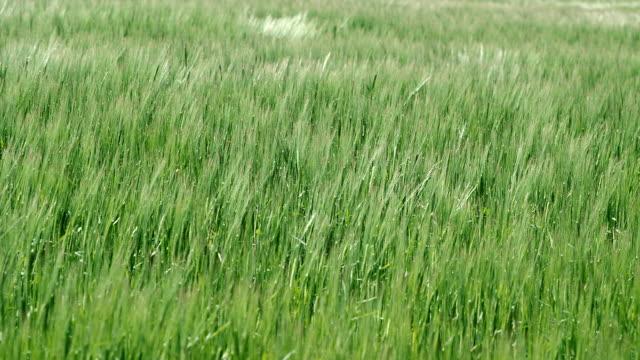 ms shot of wind blowing through barley field / saarburg, rhineland palatinate, germany - orzo video stock e b–roll