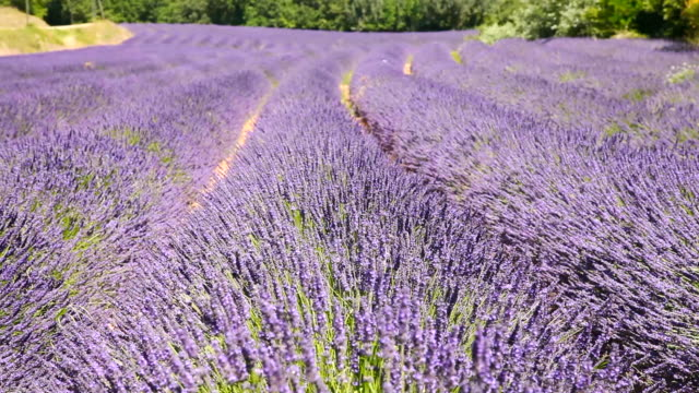 ms shot of wind blowing through field of lavender flowers / vanlensole, provence alpes cote d'azur, france - 植物 ラベンダー点の映像素材/bロール