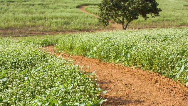 ms shot of winding road passes among buckwheat flower bed / gochang, jeollabuk do, south korea - buckwheat stock videos & royalty-free footage