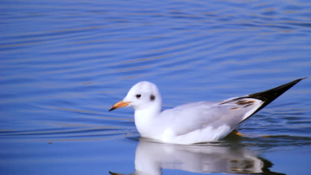 CU TS Shot of Winter plumage black headed gull (Chroicocephalus ridibundus) swimming in water / Hula Valley, Galilee, Israel