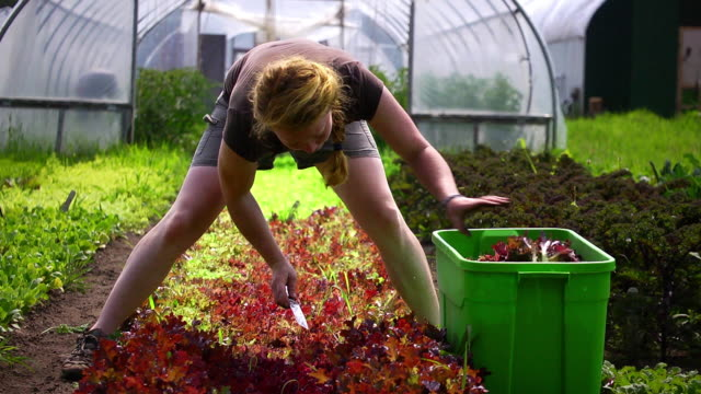 MS SLO MO Shot of woman as she cutting fresh lettuce straddling rows at an organic farm / Chatham, Michigan, United States
