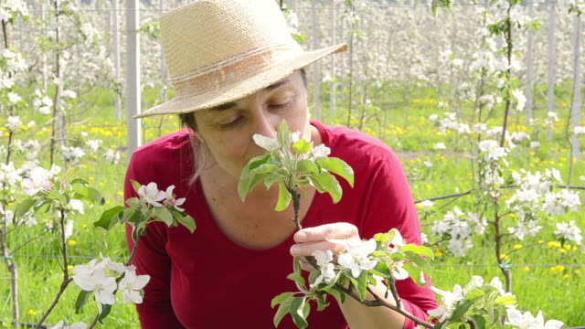 MS Shot of Woman smelling apple blossoms / Merano, South Tyrol, Italy