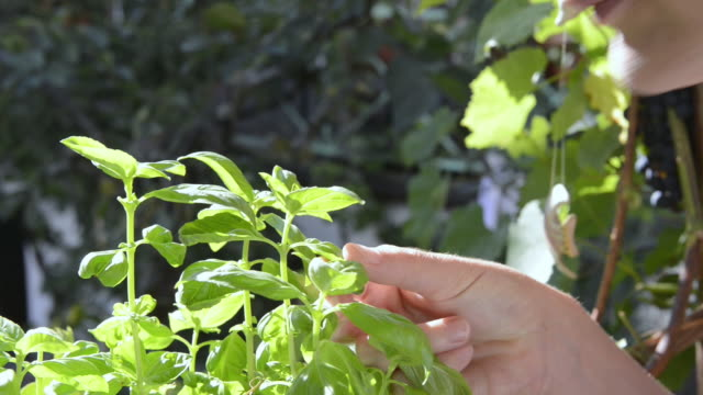 cu shot of woman smelling basil leaves ( ocimum ) / landshut, bavaria, germany - basil stock videos & royalty-free footage