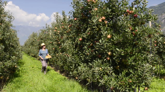 MS Shot of woman walking in apple orchard / Merano, Trentino, South Tyrol, Italy