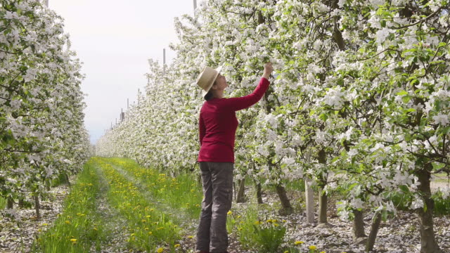ms shot of woman walking through blooming apple tree plantation / merano, south tyrol, italy - only mature women stock videos & royalty-free footage