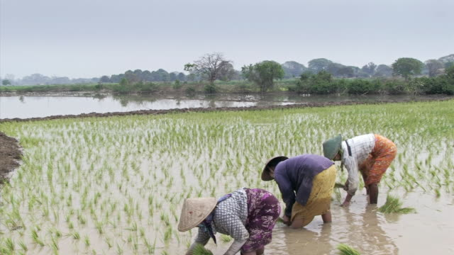 ms shot of  women working in a rice patty in myanmar  / mandalay, mandalay division, myanmar - mandalay stock videos and b-roll footage