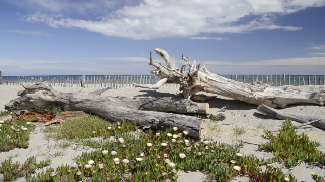 Shot of Wooden fence protecting sand dune, Drift wood and Sea fig ice plants flowers (Carpobrotus edulis) in Nature preserve / Aleria, Corsica, France