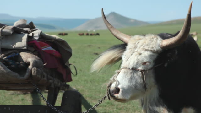 cu shot of yak attaching to cart load / central-south mongolia, mongolia - animale da lavoro video stock e b–roll