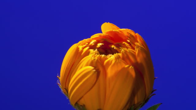 CU T/L Shot of yellow and orange daisy opening against blue background / Studio City, California, United States