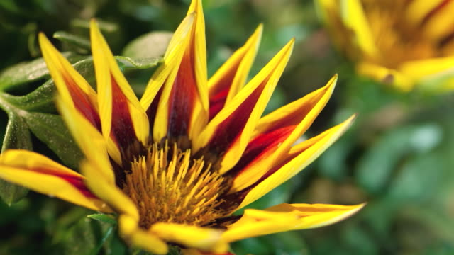 CU T/L Shot of yellow and orange gazania(daisy) blossoming / Studio City, California, United States