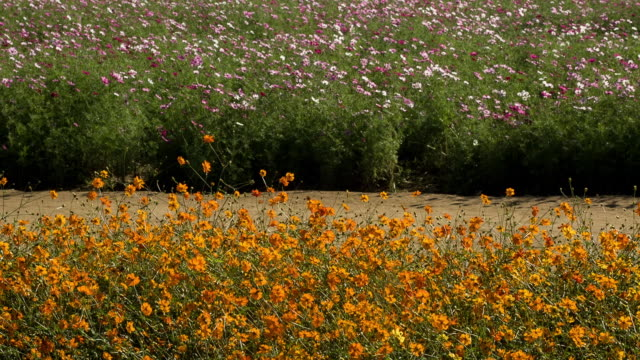 stockvideo's en b-roll-footage met shot of yellow and pink cosmos flowers at bucheon landfill - tuinpad