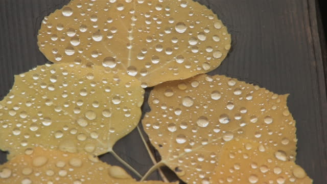 CU Shot of Yellow Aspen leaves with rain drops / Telluride, Colorado, United States