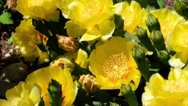 shot of yellow cactus flowers. - cactus stock videos & royalty-free footage