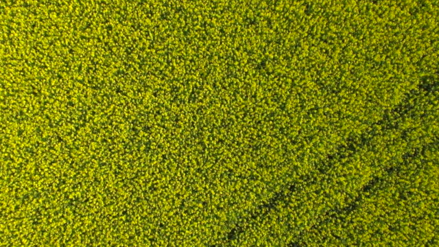 ms zo aerial shot of yellow canola field / munich, bavaria, germany - canola stock videos and b-roll footage