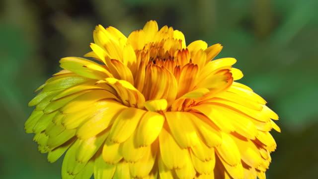 CU T/L Shot of yellow chrysanthenum flower blossoming / Studio City, California, United States