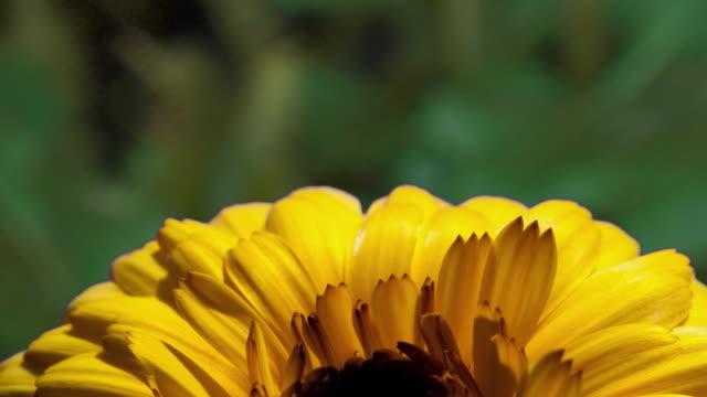 ecu t/l shot of yellow chrysanthenum flower blossoming / studio city, california, united states - chrysanthemum stock videos & royalty-free footage