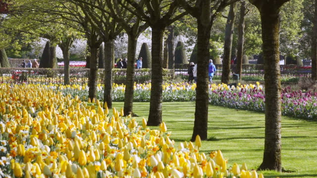 stockvideo's en b-roll-footage met ms shot of yellow color tulip fields at keukenhof gardens / lisse, south holland, netherlands - tuinpad