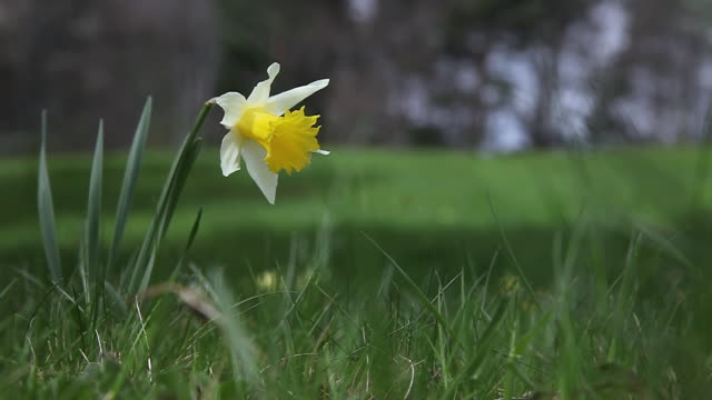 cu shot of yellow daffodil (narcissus pseudonarcissus) flowers in small grass / ardeche, france - flower head stock videos & royalty-free footage