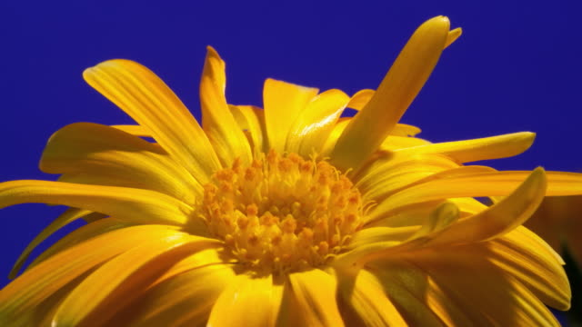 CU T/L Shot of yellow daisy opening against blue background / Studio City, California, United States