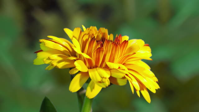cu t/l shot of yellow daisy opening petals / studio city, california, united states - plant stock videos & royalty-free footage