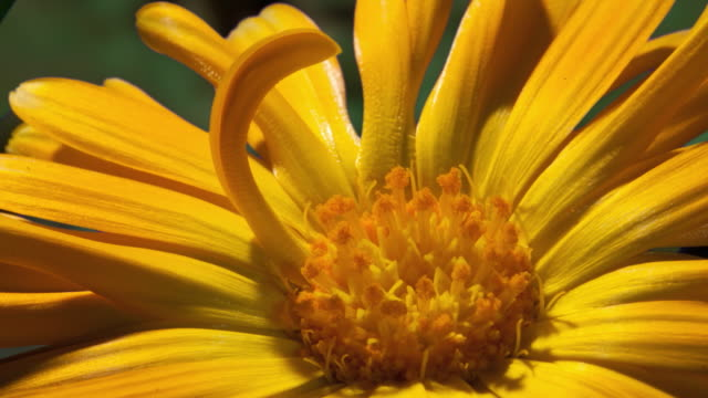 ECU T/L Shot of yellow daisy opening with stamens / Studio City, California, United States