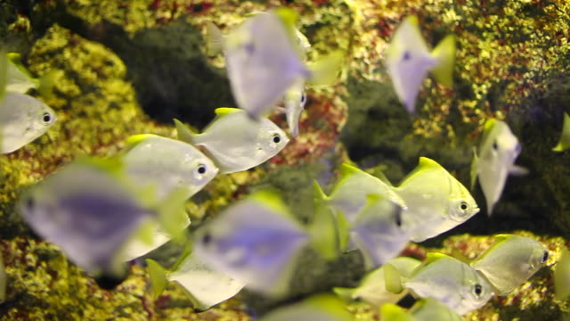 ms shot of yellow fishes swimming in aquarium / sinagawa, tokyo, japan - 水族館点の映像素材/bロール