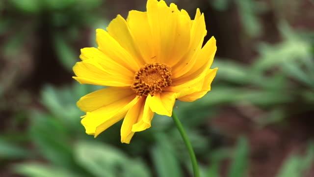 CU Shot of yellow flower / Jacobina, Bahia, Brazil
