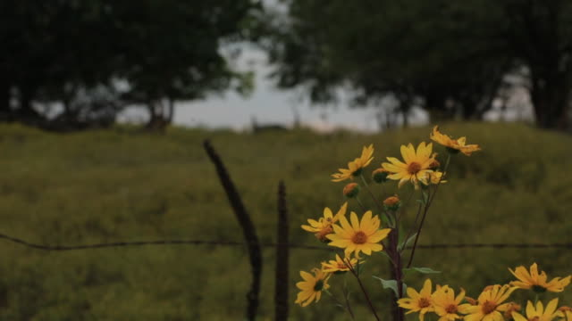 CU Shot of yellow flowers with field / New York, Kansas, United States