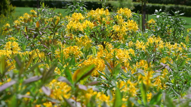ms shot of yellow rhododendron / losheim, saarland, germany - rhododendron stock videos and b-roll footage