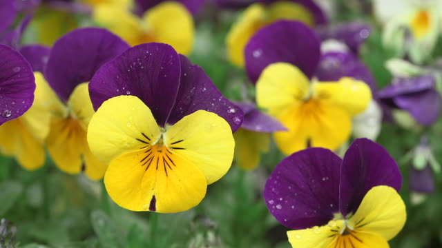 Yellow violet flower gallery flower decoration ideas flower in foreground videos and b roll footage getty images cu shot of yellow violet viola mightylinksfo