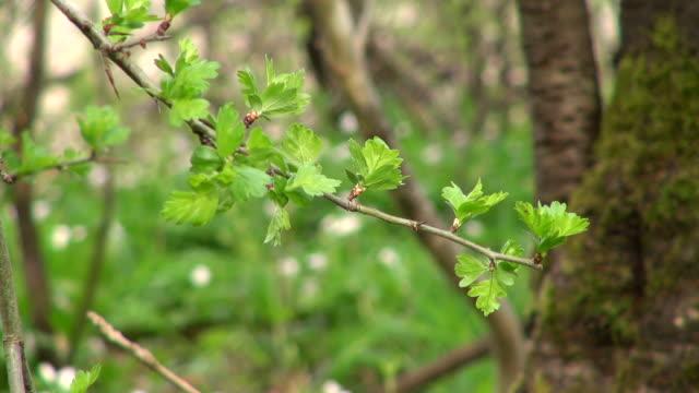 cu shot of young blackthorn leaves in forest / saarburg, rhineland-palatinate, germany - rhineland palatinate stock videos & royalty-free footage