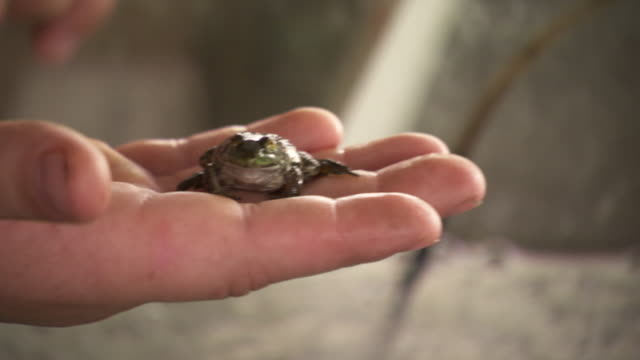 vidéos et rushes de cu td tu shot of young boy holding small bullfrog in his hand then releasing it into tank during rayne frog festival / rayne, louisiana, united states - animaux en captivité
