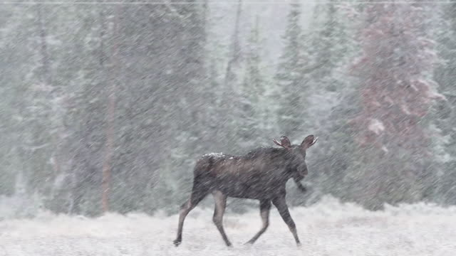 MS TS Shot of young bull moose frolicking in early fall snow storm / Tetons, Wyoming, United States