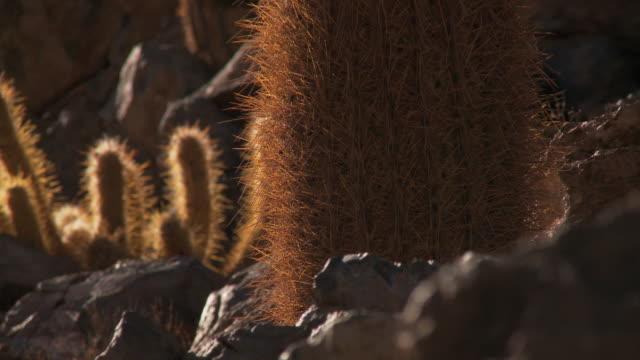 ecu pan r/f shot of young cardon grande cactus, echinopsis species in atacama desert / san pedro de atacama, norte grande, chile - barrel cactus stock videos and b-roll footage
